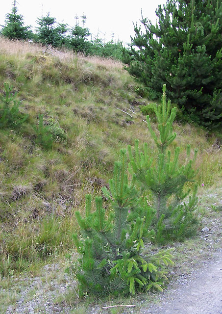 Self Sown Spruces, Cwm Berwyn Plantation, Ceredigion