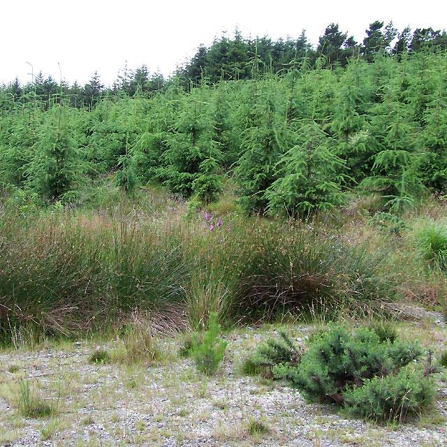 Immature Conifers, Cwm Berwyn Plantation, Ceredigion