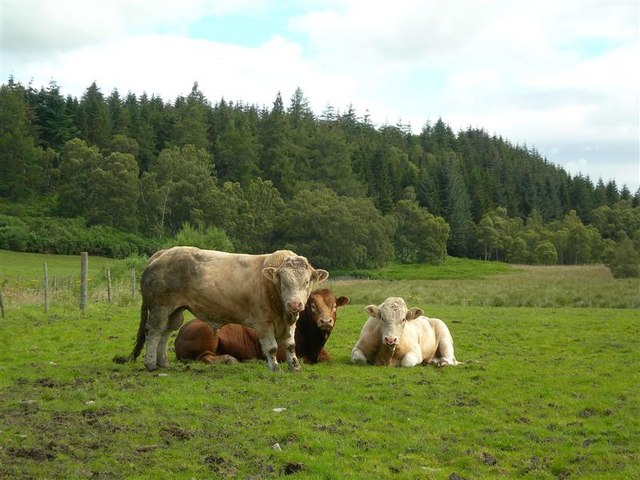 Bulls at Burntack