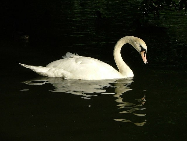 One of the many Swans on the Dyke