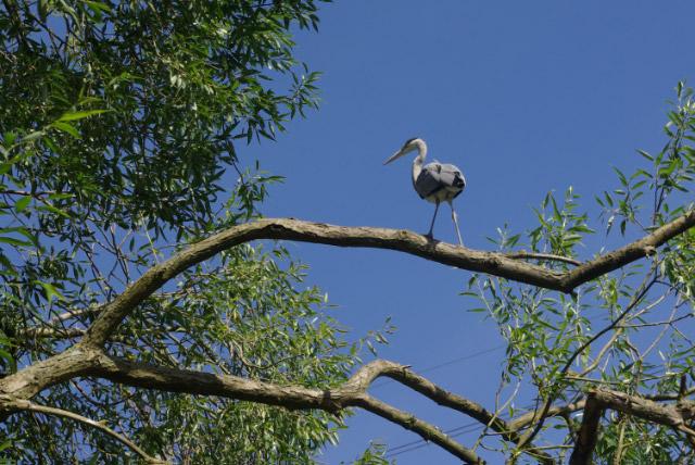 Heron near Park Bridge