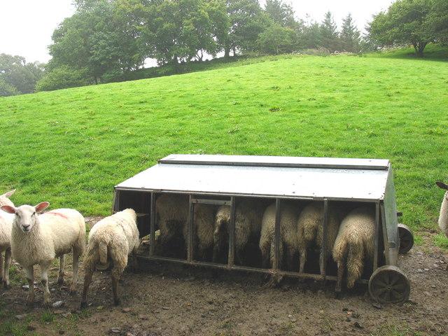 A sheep feeder at Bronasgellog