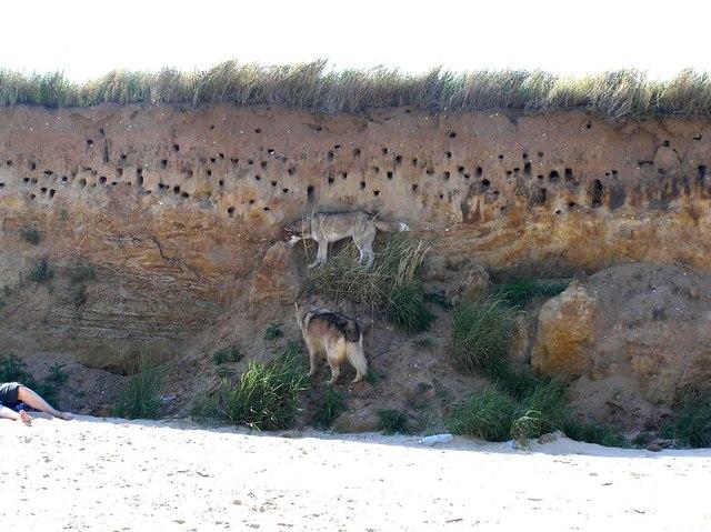 Sand Martin nest holes in cliff