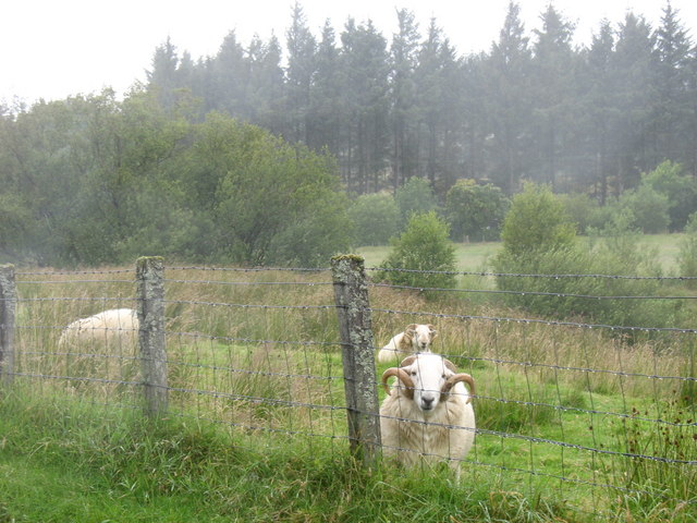 Rams on rough grazing