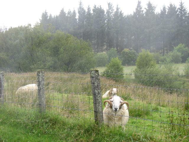 Rams on rough grazing