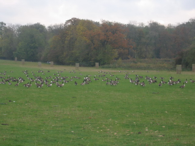 Autumnal Gathering: Canada Geese at Corsham Court