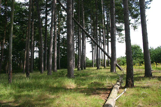 Pine tree plantation, near Thetford
