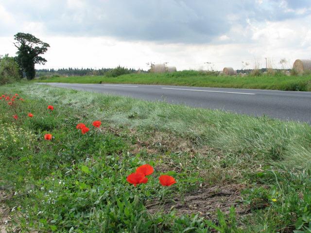 Poppies alongside Holt Road