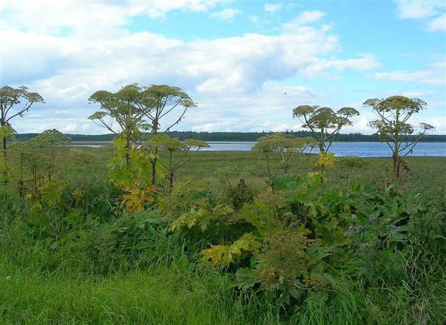 Giant Hogweed at Findhorn Bay