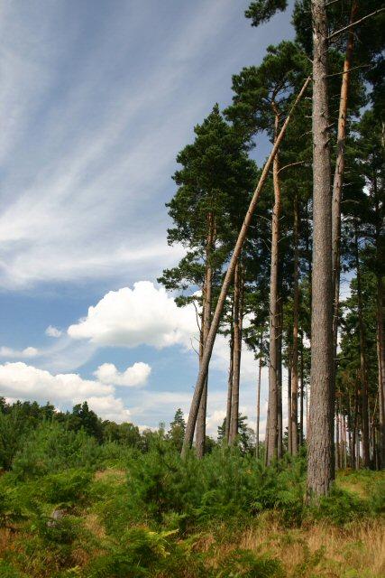 Pine tree plantation, near Thetford