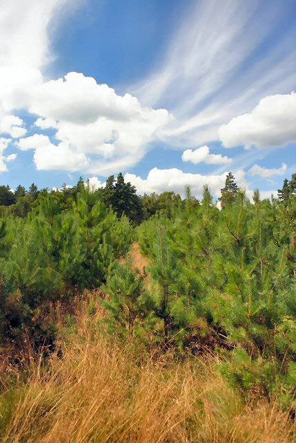New pine trees, Thetford Forest