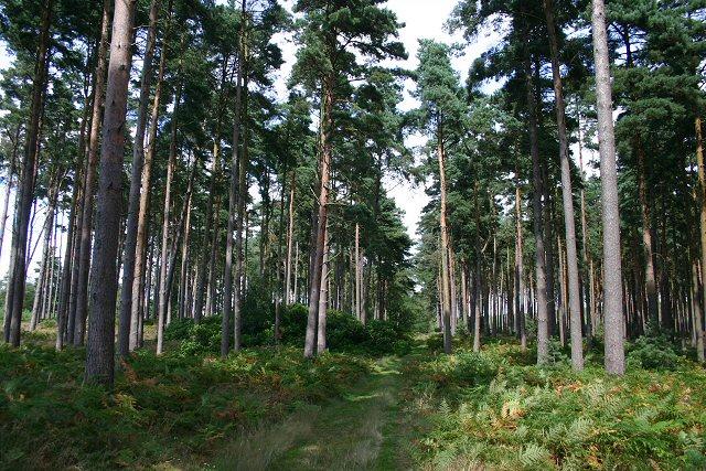 Warren Wood, Thetford Forest