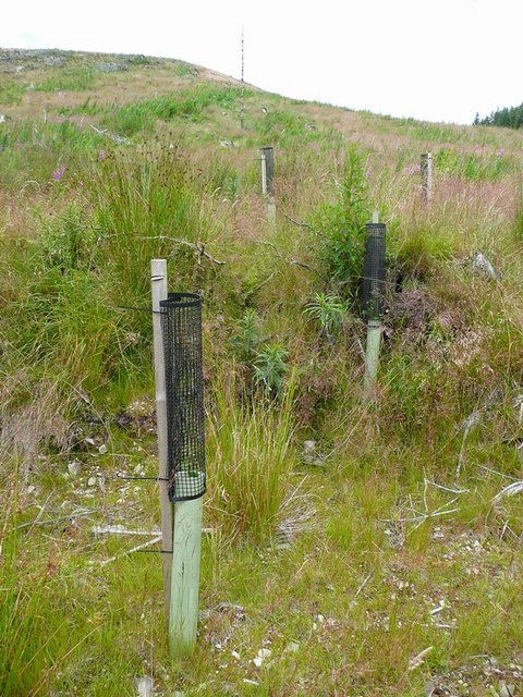 Tulley tubes protecting broad-leaved plantings