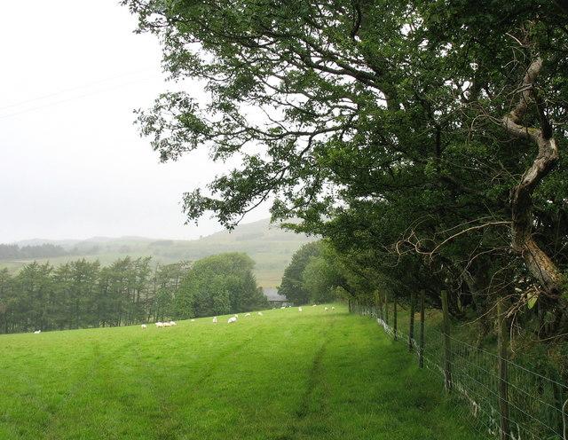 Sheep grazing in field behind Caerhingylliaid