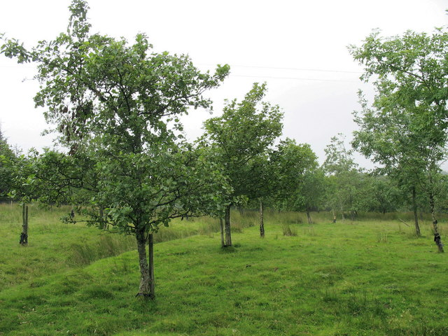 The cultivation of young deciduous trees on sheep pastures west of Caerhingylliaid