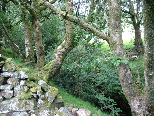 Ancient semi-natural woodland on the valley slopes of a tributary of Afon Prysor