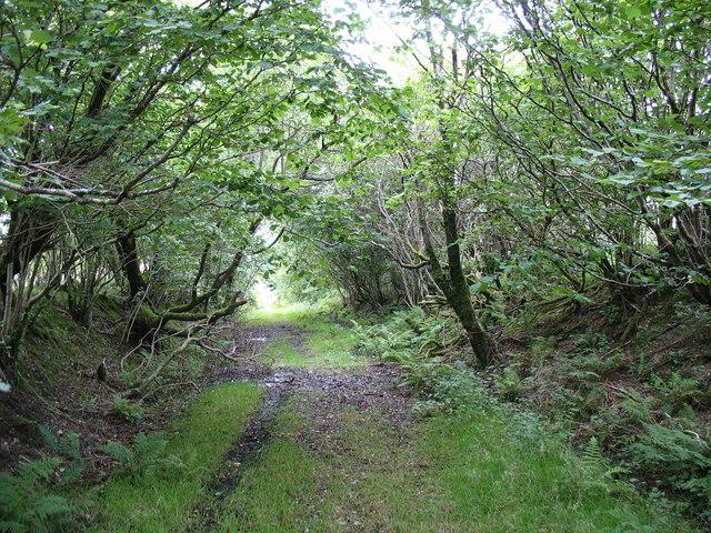 Woodland invasion of the track adjacent to Nurse Bryn-celynog