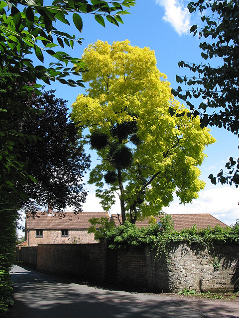 False Acacia tree with parasitic mistletoe, Church Road