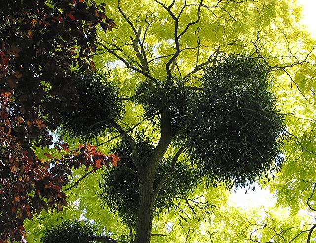 Mistletoe in acacia tree