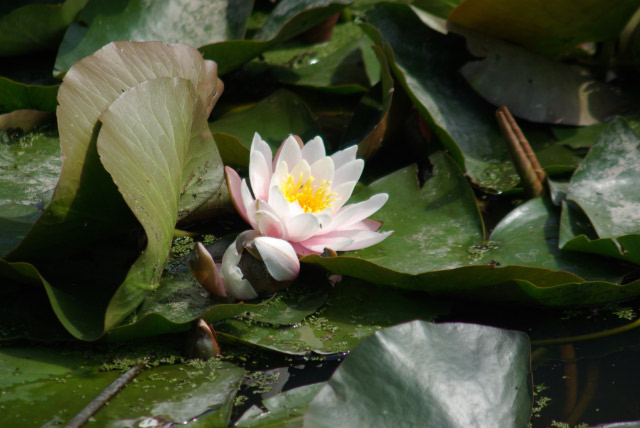 Water Lily, Nottingham Canal