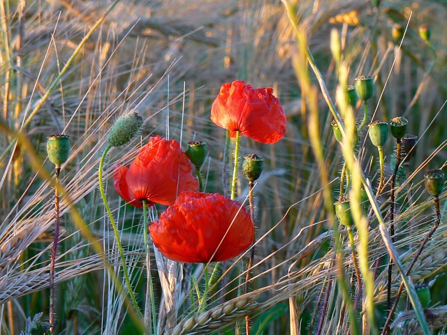 Poppies, south of Easton Royal