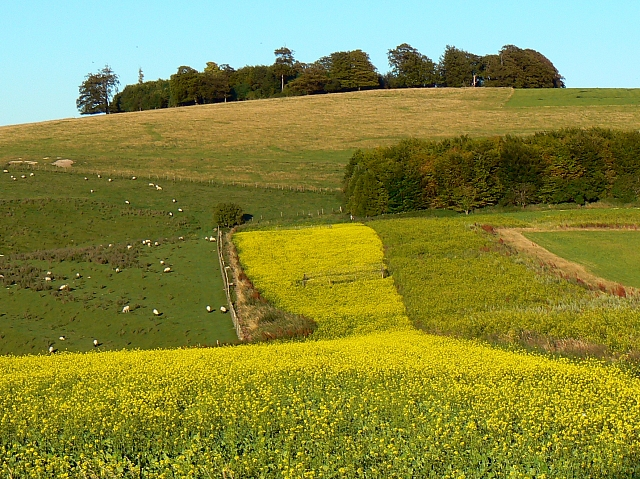 Late-flowering oilseed rape and a few sheep, south of Easton Royal