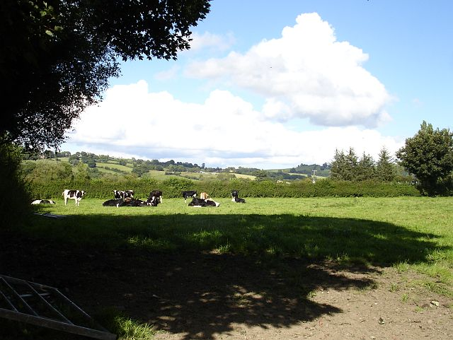 Cattle in Llanfechain