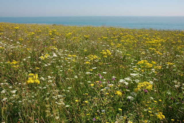 Wild flowers at North Foreland