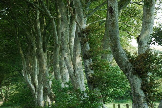 Coed Y Lôn Goed - Lôn Goed's trees