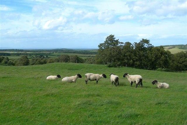 Tups In A Field