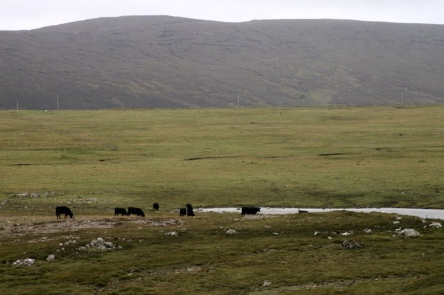 Cattle on reseeds at Colvadale