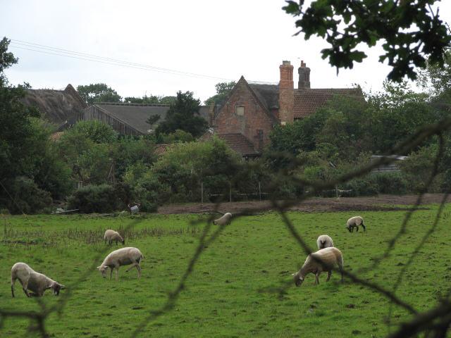 Sheep grazing at Avenue Farm