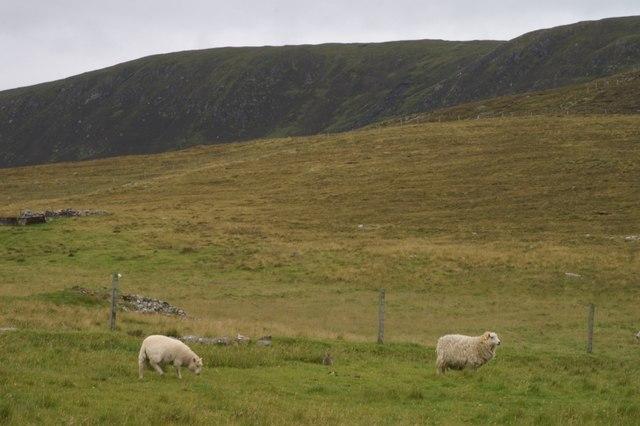 Sheep at the Westing