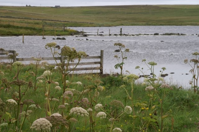 Angelica at Easter Loch, Uyeasound