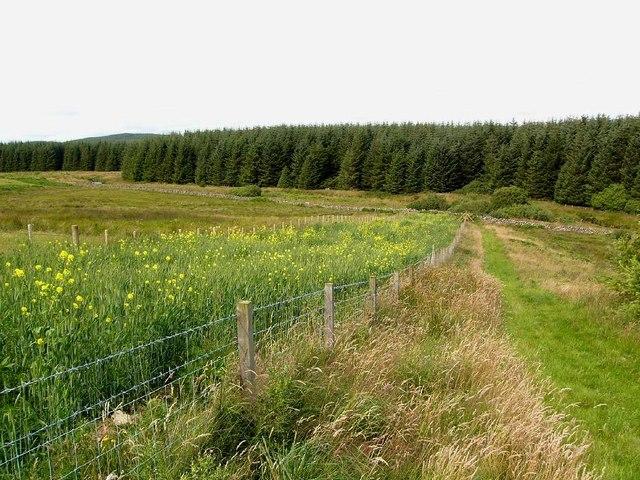 Oilseed rape strip