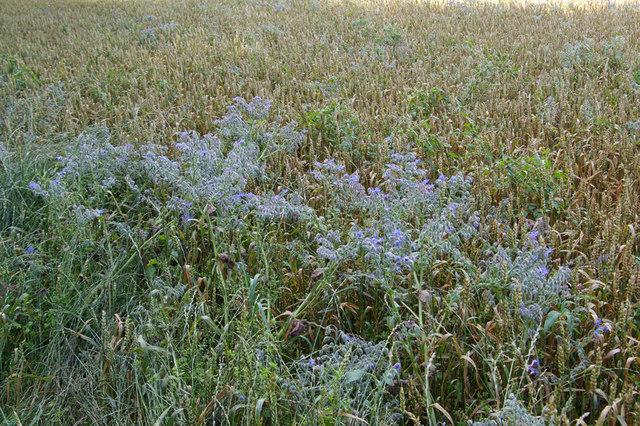 Borage and Wheat
