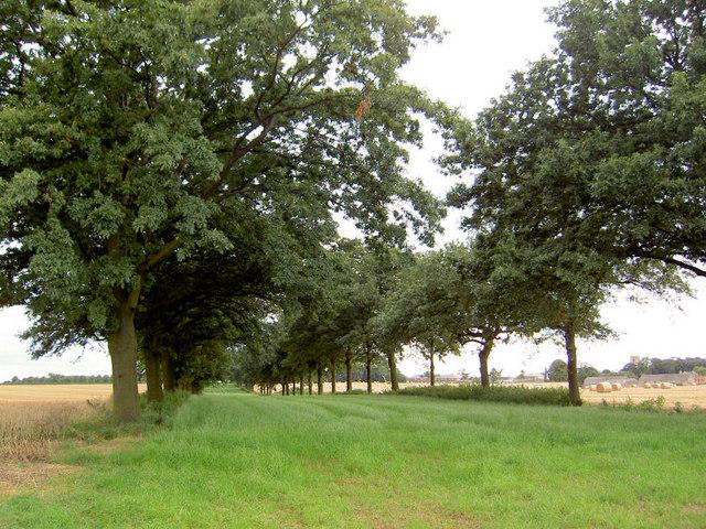 Avenue of oak trees.