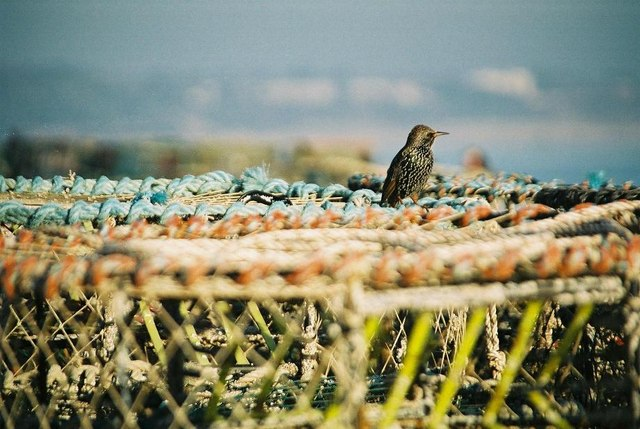 Starling on lobsterpots