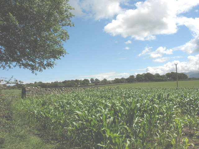 View East across a field of maize towards the A5025