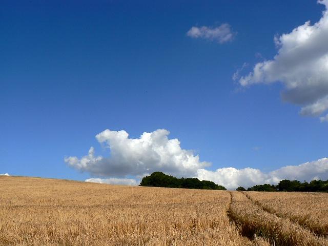 Barley, near Slack's Barn, Coberley