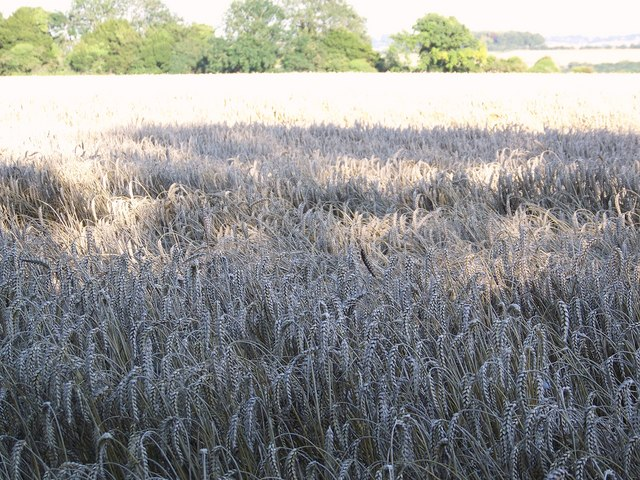 Wheat field ready for harvesting near Down Barn