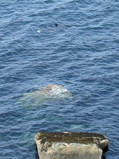 Basking shark in Loch Hunish