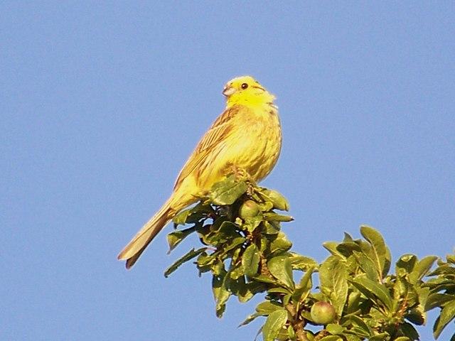Yellow Bunting (Emberiza citrinella)