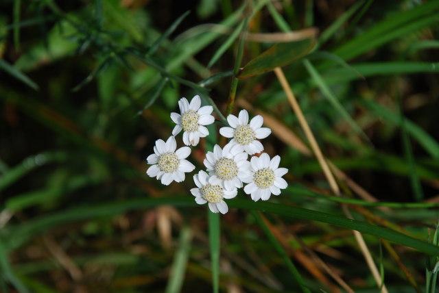 Distrewlys - Sneezewort (Achillea ptarmica)