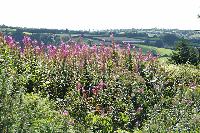 North Molton: fireweed