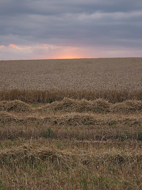 Wheat crop, late evening