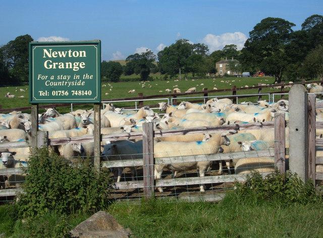 Sheep at Newton Grange