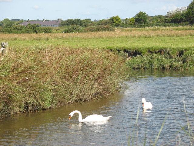 Swans at a sharp bend in Afon Braint