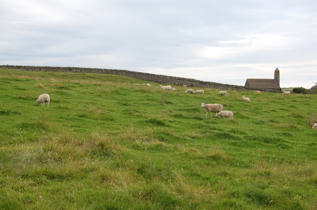 Sheep on Canna