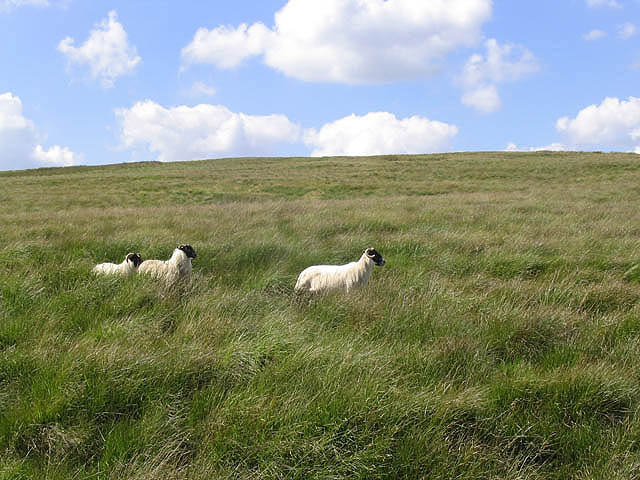 Rough grazing at Stanygill Rig